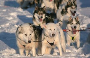 Husky-farm-and-safari-SeaLapland-Ullas-farm-Taxari-Travel-Lapland-01