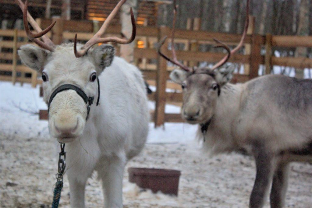 Reindeer-farm-Arkadia-Kemi-Taxari-Travel-Lapland-12