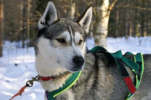Husky-safari-Lapland-Taxari-Travel