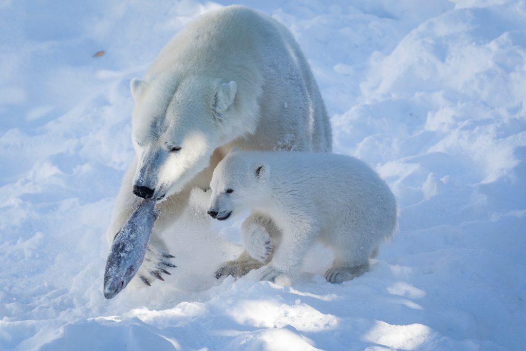 Polar-Bear-Ranua-Taxari-Travel-Lapland