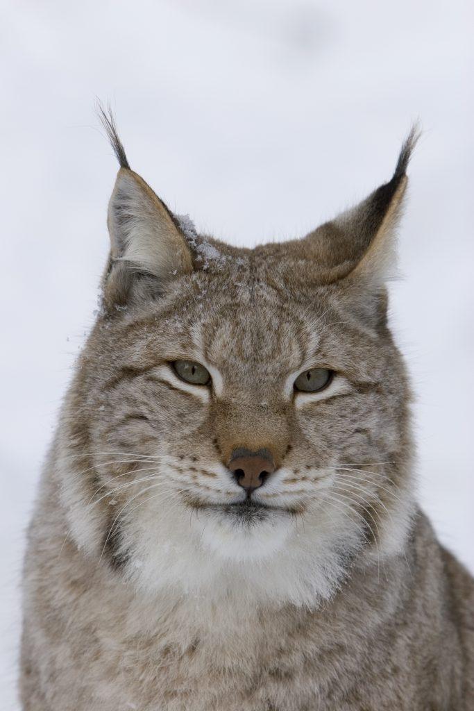 Ilves-Ranua-Zoo-Taxari-Travel-Lapland