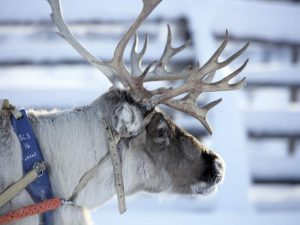 Reindeer safari-SeaLapland-Taxari-Travel-Lapland