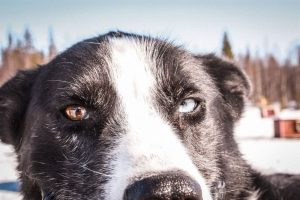 Husky-safari-and-farm-visit-Taxari-Travel-Lapland-01