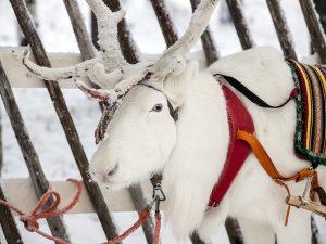 Reindeer-farm-Rovaniemi-Taxari-Travel-Lapland-01