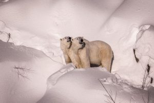 Polar-Bear-Ranua-Zoo-Taxari-Travel-Lapland