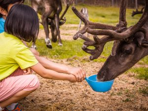 Reindeer-farm-visit-summer-Taxari-Travel-Lapland-04