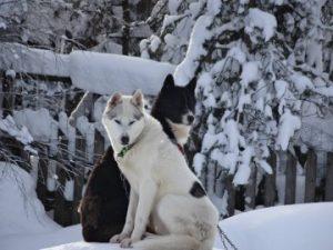 husky-dogs-Kemi-Taxari-Travel-Lapland