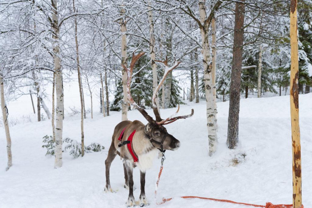 Reindeer-farm-Sealapland-Taxari-Travel-Lapland