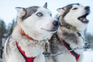 Husky-safari-Sealapland-Taxari-Travel-Lapland