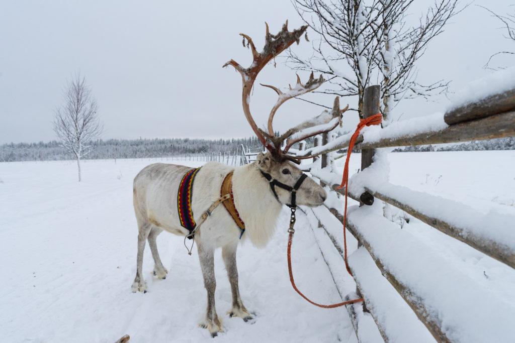 Reindeer-farm-Sealapland-Taxari-Travel-Lapland-1